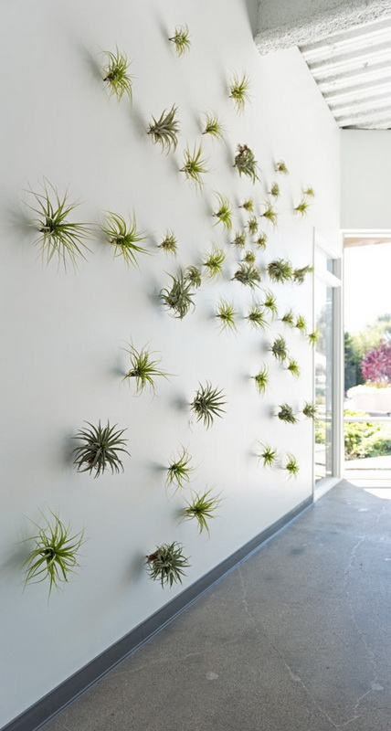 a white wall with lots of air plant attached is an ultra-modenr backdrop idea, and these plants are easy to keep them fresh anytime