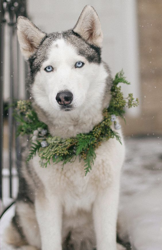 husky in an evergreen collar with berries