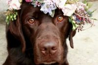 35 sweet chocolate lab with a boho chic floral crown
