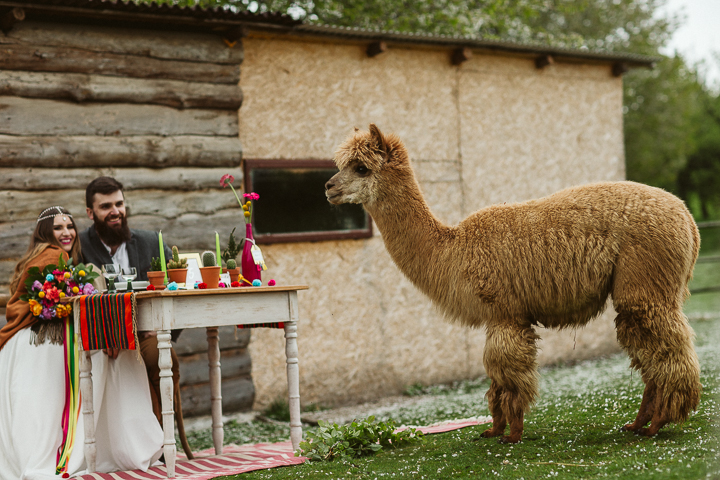 Alpacas took an active part in the shoot and had fun with others
