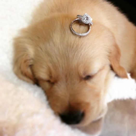 a little puppy with an engagement ring   when you decided not only to get married but also to take a pup