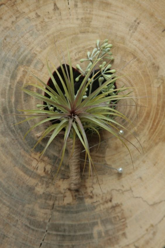 an air plant boutonniere with seedd eucalyptus and a twine wrap for a cool feel