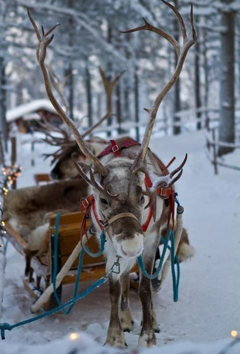 a sleigh with a real northern deer is a cool idea for an outdoor Scandinavian wedding shoot