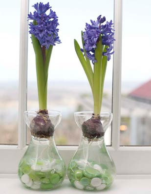 hyacinths from bulbs (via pallensmith)